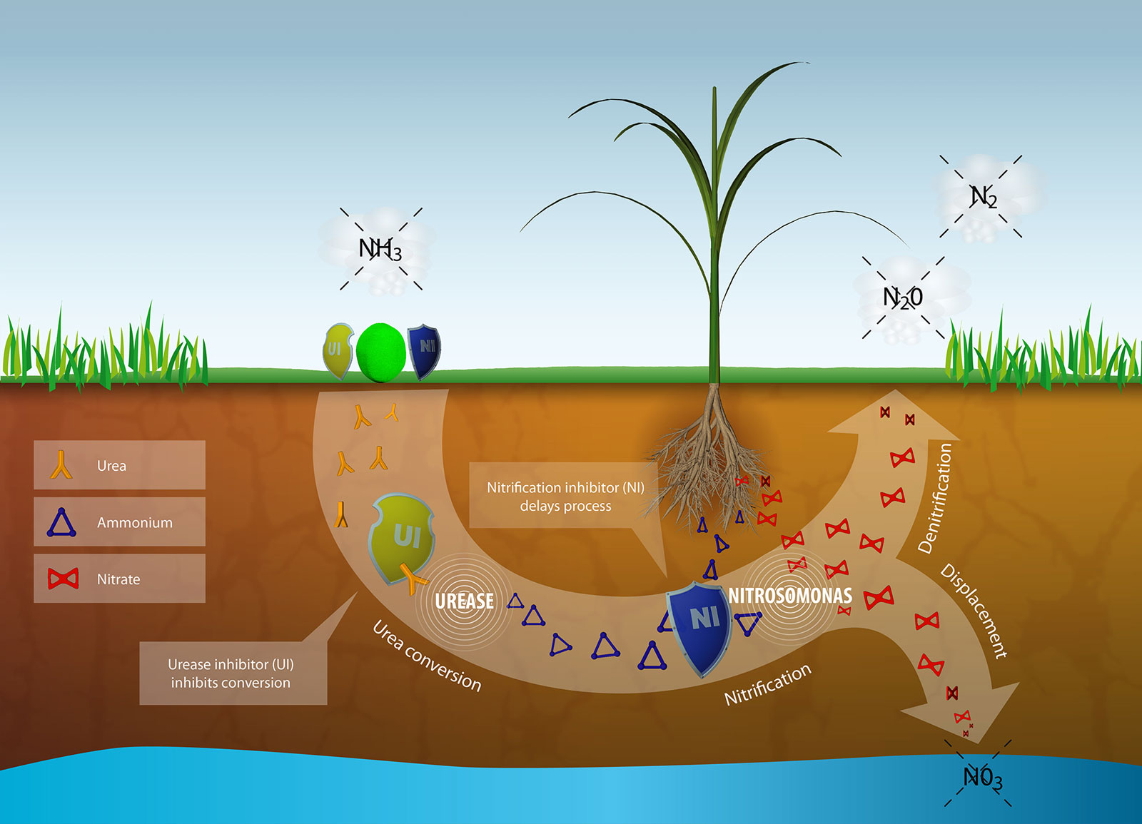 Nitrogen into the plant – this is how it works.
